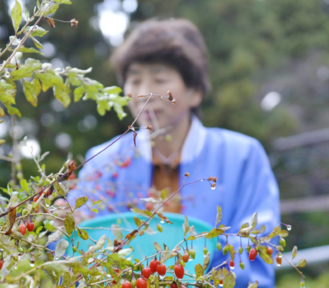 会津のクコの実(福島県西会津町)-エイジングケア(※年齢に応じたケア)-